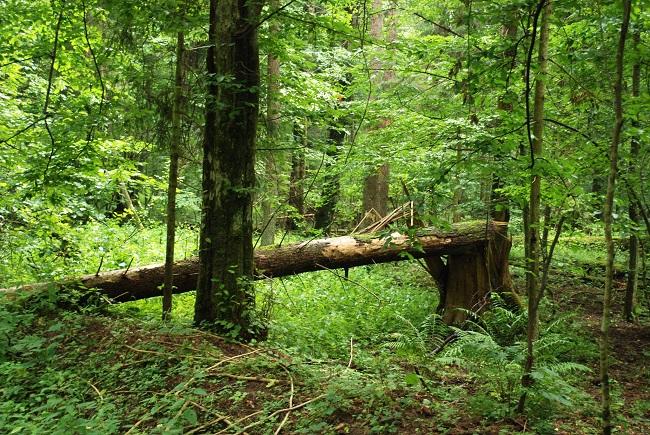 Суд ЕС: Польша незаконно организовала вырубку деревьев в Беловежской пуще